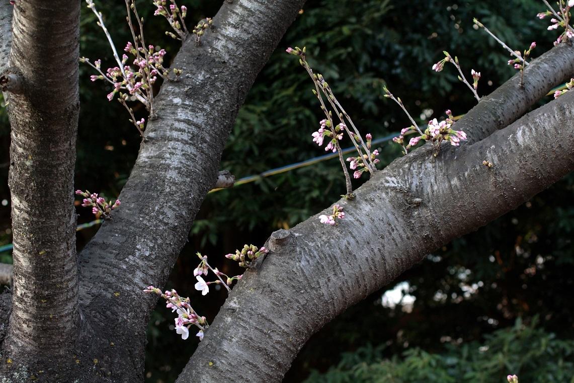 嬉しい異変 ~福岡中央公園の桜~_a0107574_21352861.jpg