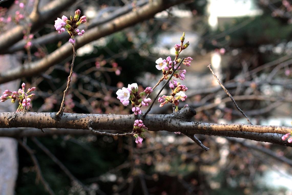 嬉しい異変 ~福岡中央公園の桜~_a0107574_21353544.jpg