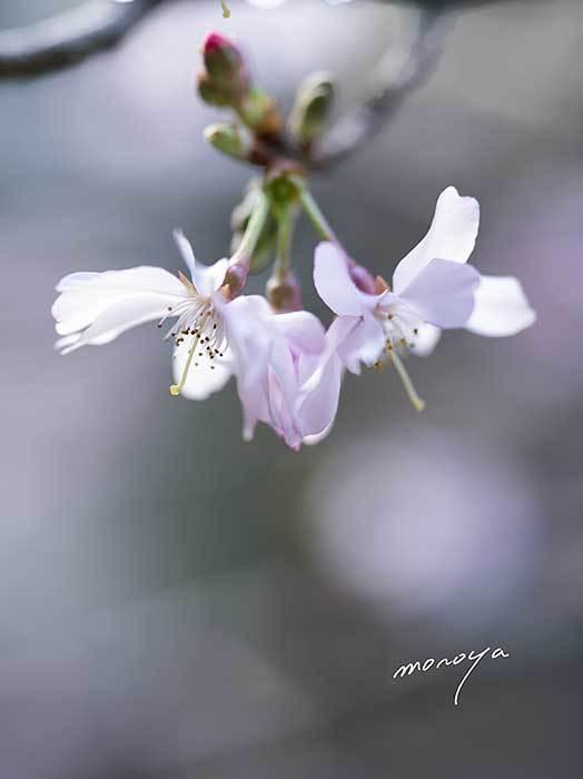 十月桜_c0085877_05275307.jpg