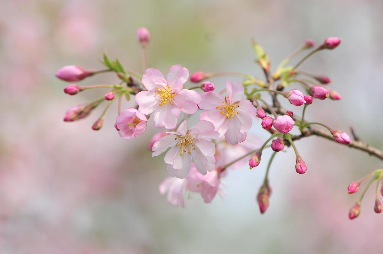 桜_f0172281_6201885.jpg