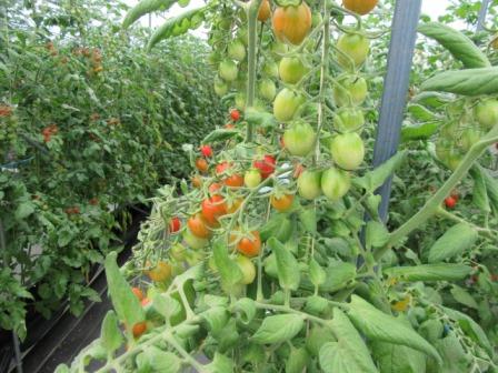 静岡のトマト「アメーラ!」 _a0154793_12182728.jpg