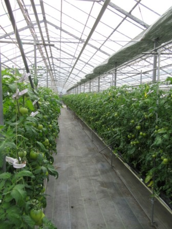 静岡のトマト「アメーラ!」 _a0154793_129630.jpg