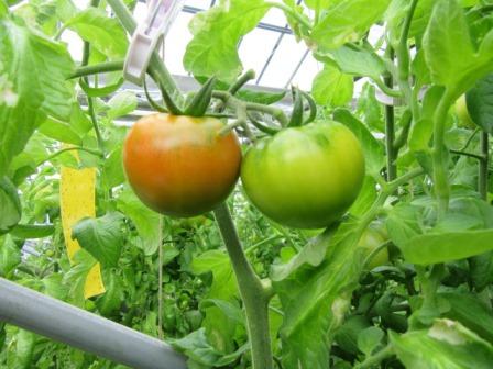 静岡のトマト「アメーラ!」 _a0154793_1461552.jpg