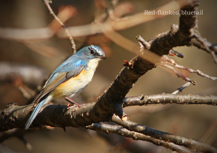 ルリビタキ:Red-flanked bluetail_b0249597_5185960.jpg