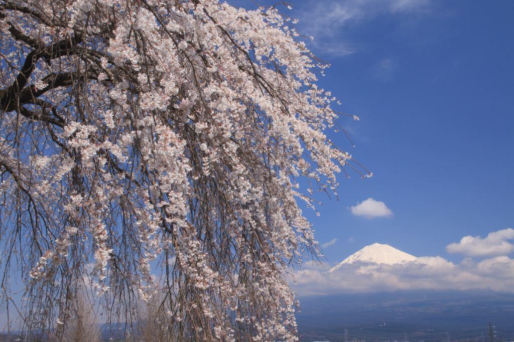 先照寺の枝垂れさくら : 富士山...