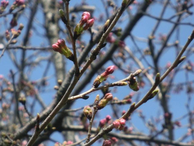 今週末は一気に見頃に? 沼川・滝川の一人「お花見ウォーク」_f0141310_8105260.jpg