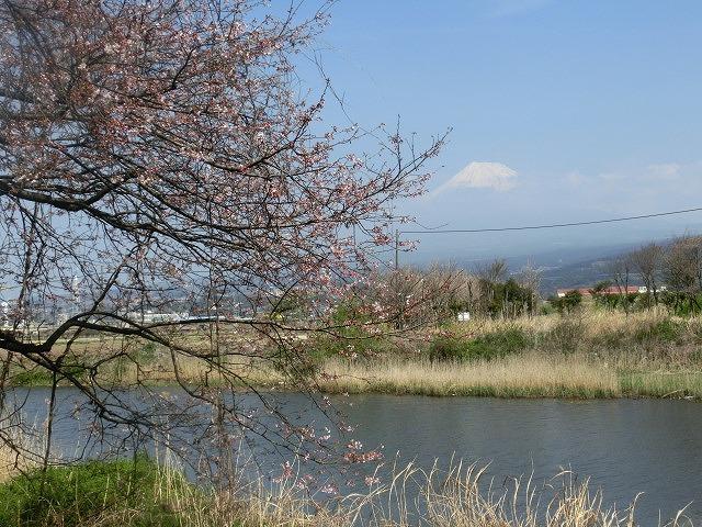 今週末は一気に見頃に? 沼川・滝川の一人「お花見ウォーク」_f0141310_811630.jpg