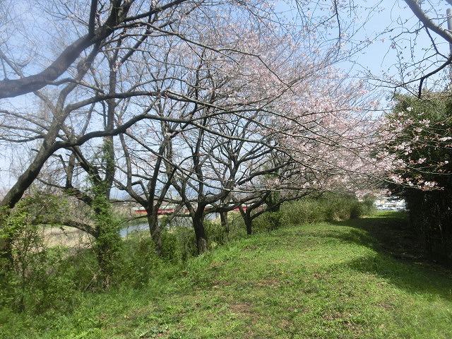 今週末は一気に見頃に? 沼川・滝川の一人「お花見ウォーク」_f0141310_8121814.jpg