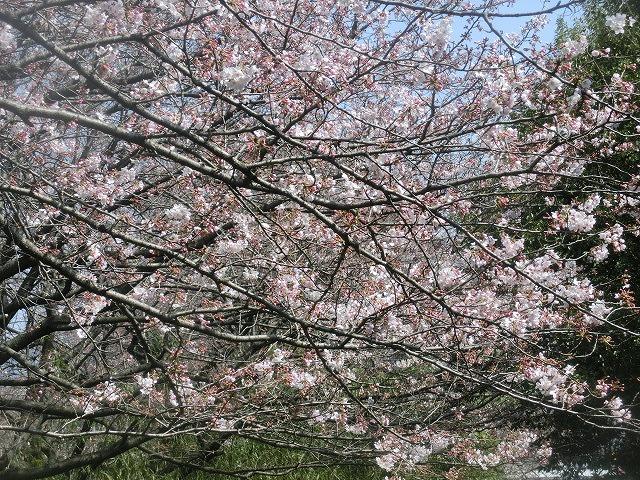 今週末は一気に見頃に? 沼川・滝川の一人「お花見ウォーク」_f0141310_8123117.jpg
