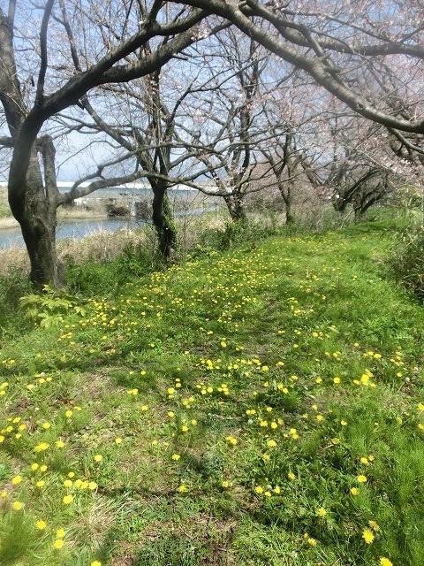 今週末は一気に見頃に? 沼川・滝川の一人「お花見ウォーク」_f0141310_8124988.jpg