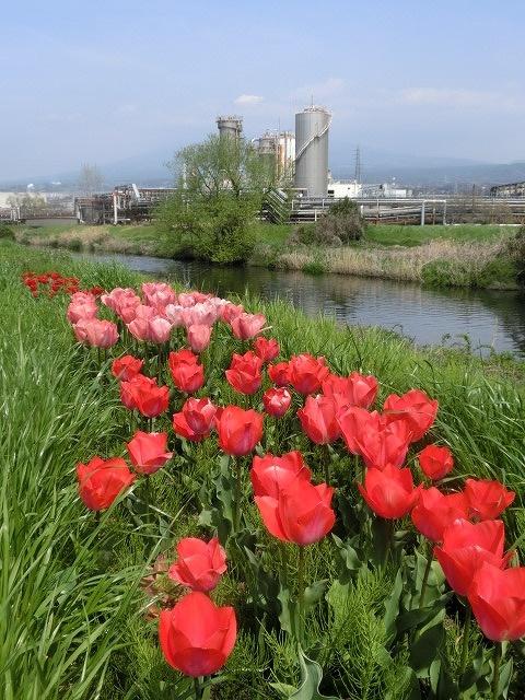 今週末は一気に見頃に? 沼川・滝川の一人「お花見ウォーク」_f0141310_8132744.jpg
