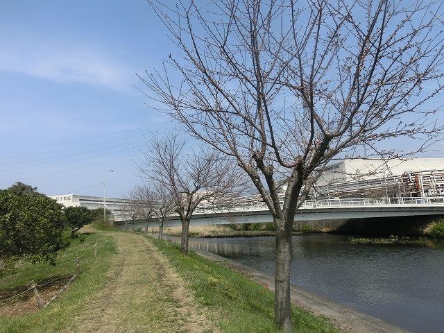 今週末は一気に見頃に? 沼川・滝川の一人「お花見ウォーク」_f0141310_8134158.jpg