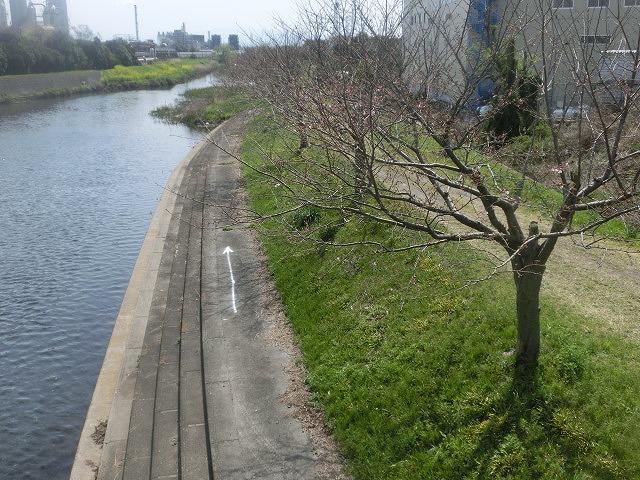 今週末は一気に見頃に? 沼川・滝川の一人「お花見ウォーク」_f0141310_8135356.jpg