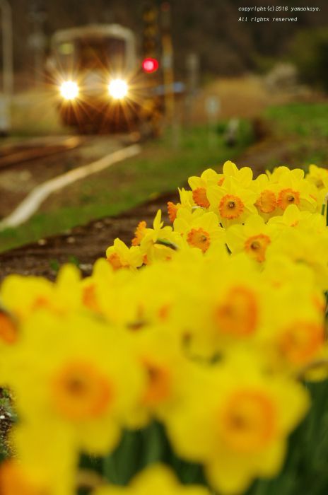 水仙の咲く_d0309612_6324550.jpg