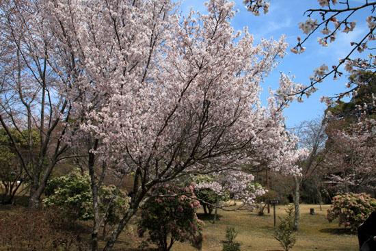 16桜だより18 嵐山3 亀山公園_e0048413_20435716.jpg