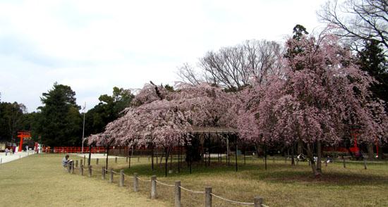 16桜だより19 上賀茂神社 御所ざくら_e0048413_21383670.jpg