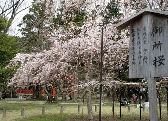 16桜だより19 上賀茂神社 御所ざくら_e0048413_21385655.jpg