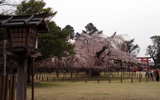 16桜だより19 上賀茂神社 御所ざくら_e0048413_21391010.jpg