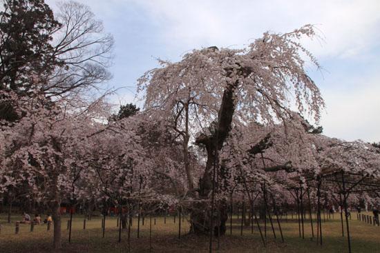 16桜だより19 上賀茂神社 御所ざくら_e0048413_21392472.jpg