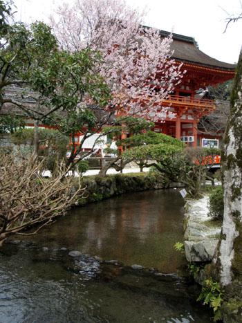 16桜だより19 上賀茂神社 御所ざくら_e0048413_21393858.jpg