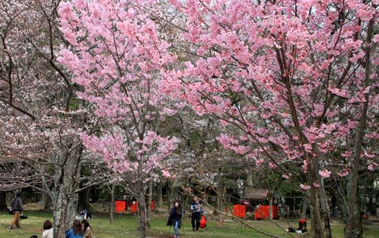 16桜だより19 上賀茂神社 御所ざくら_e0048413_21395565.jpg