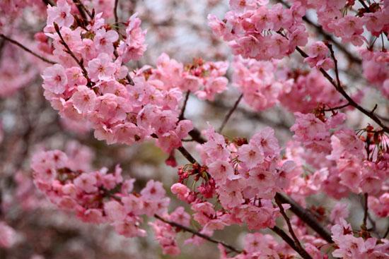 16桜だより19 上賀茂神社 御所ざくら_e0048413_2140932.jpg