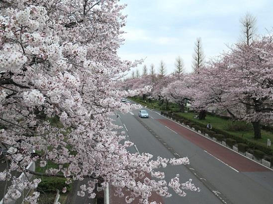 春爛漫@東京、国立_c0192215_2003920.jpg