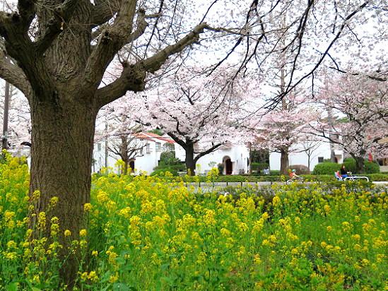 春爛漫@東京、国立_c0192215_2054369.jpg