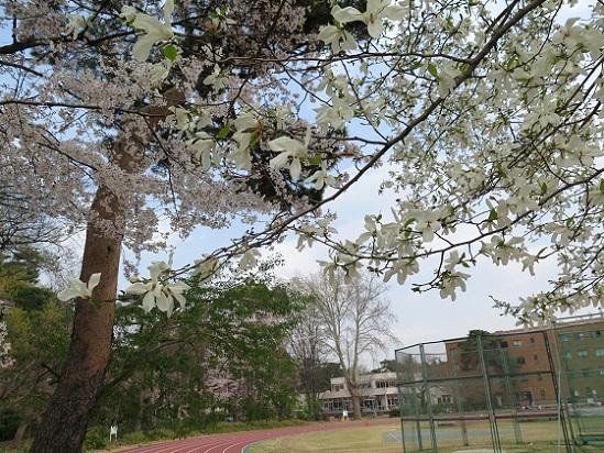 春爛漫@東京、国立_c0192215_2091785.jpg
