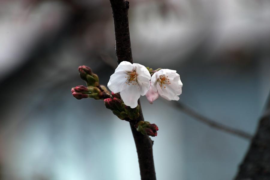 春・SD1 Merrillでお花を楽しむ_c0223825_03114385.jpg