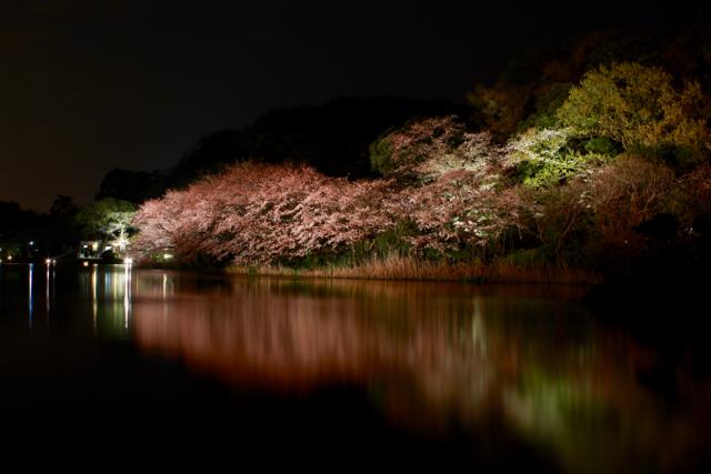 【三溪園】観桜の夕べ_f0348831_07562486.jpg