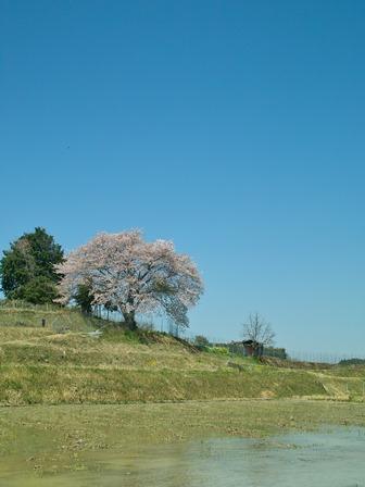 満開のキンキマメザクラと、伊香立桜・仰木の棚田一本桜・・高島の人と木_d0005250_16435615.jpg