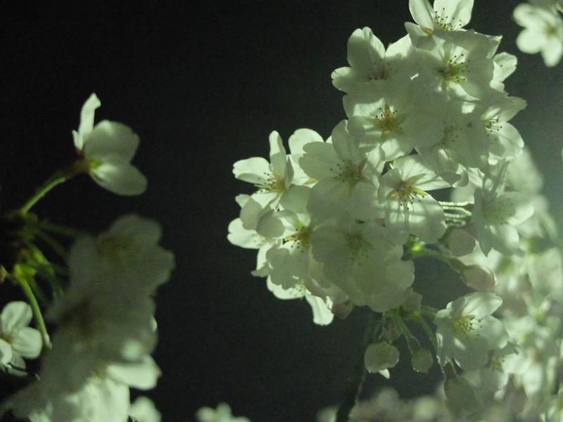 桜 千夏とおっちゃんのための_a0180681_1341698.jpg