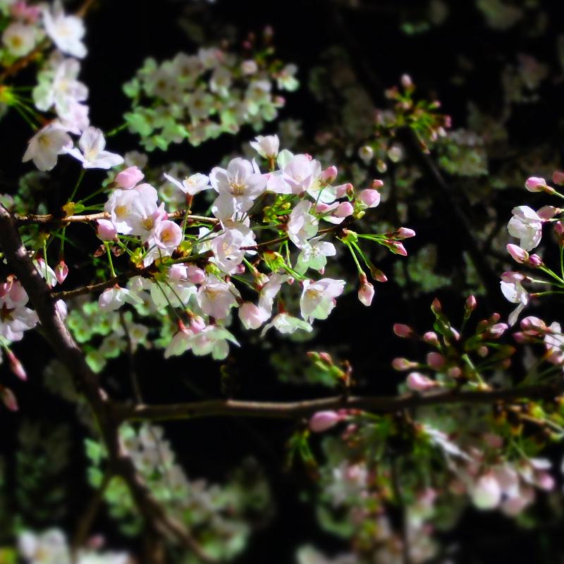 桜 千夏とおっちゃんのための_a0180681_1342369.jpg