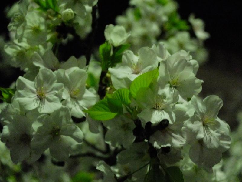 桜 千夏とおっちゃんのための_a0180681_1343155.jpg