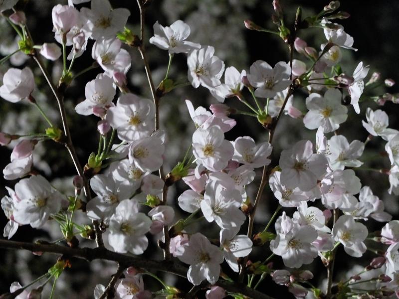 桜 千夏とおっちゃんのための_a0180681_1343810.jpg