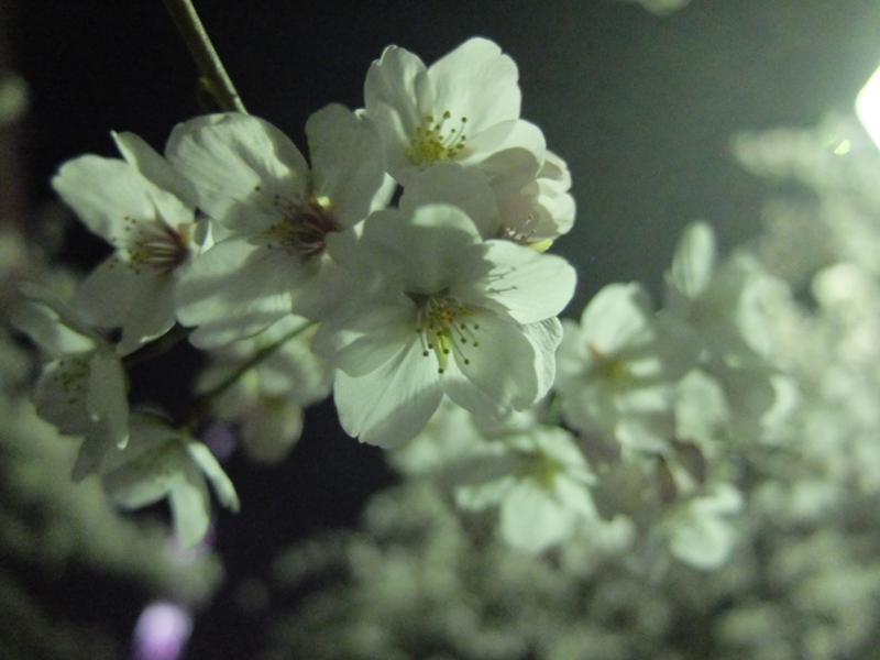 桜 千夏とおっちゃんのための_a0180681_134926.jpg