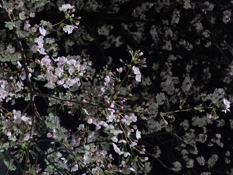 桜 千夏とおっちゃんのための_a0180681_136178.jpg