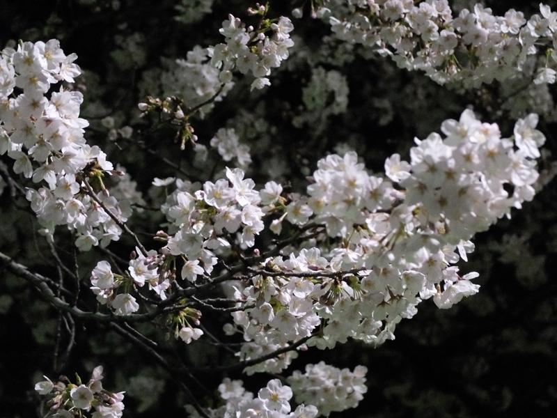 桜 千夏とおっちゃんのための_a0180681_136238.jpg