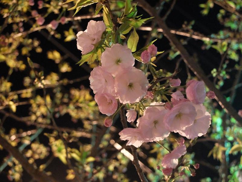桜 千夏とおっちゃんのための_a0180681_1364666.jpg
