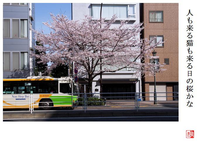 今年の桜_a0248481_19244784.jpg