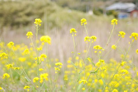 菜の花と、ムーミン列車の小さな旅。【前編】_d0174704_22555991.jpg