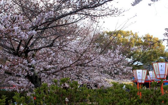 16さくら便り23 円山公園_e0048413_22201784.jpg