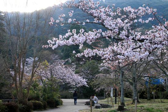 16さくら便り23 円山公園_e0048413_22202823.jpg