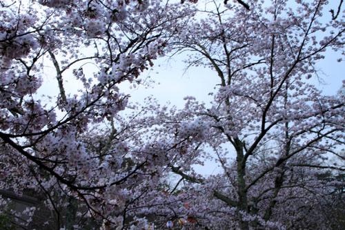 16さくら便り23 円山公園_e0048413_22205819.jpg