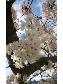桜〜_f0126121_1603949.jpg