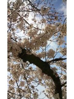 桜〜_f0126121_1603952.jpg