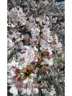 桜〜_f0126121_1604041.jpg