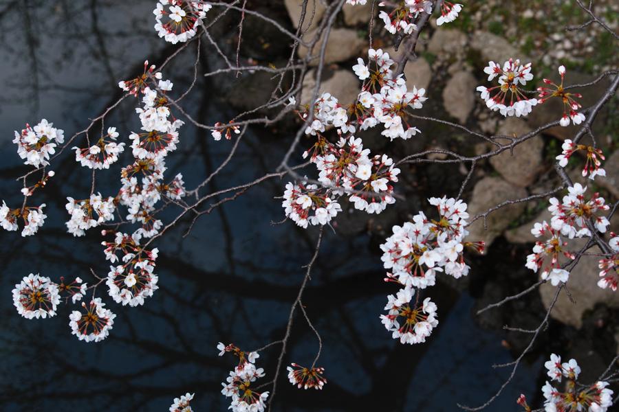 坂川の春をSD1 Merrillで_c0223825_12174461.jpg
