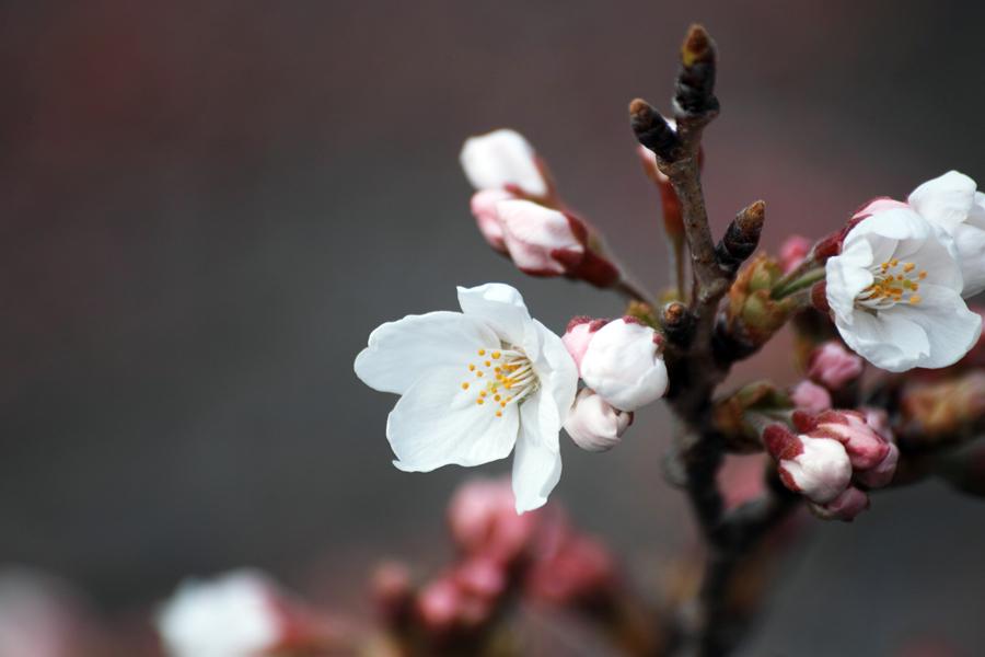 坂川の春をSD1 Merrillで_c0223825_12212928.jpg